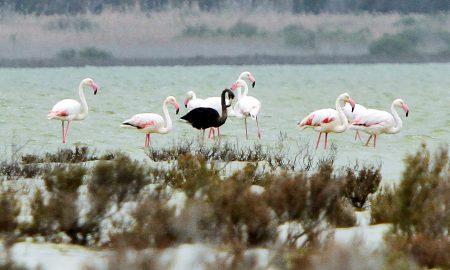 Ретка појава на диви фламинга во делтата на Дунав во Романија