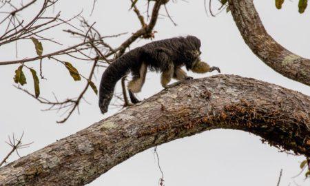Редок вид мајмун првпат забележан по 80 години