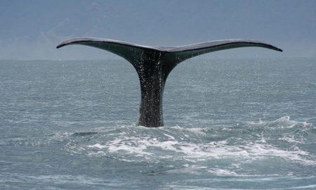 Син кит првпат виден во Црвеното Море
